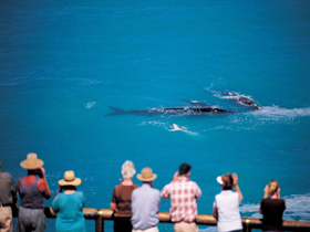 Whale Watching At Head Of Bight - Accommodation VIC