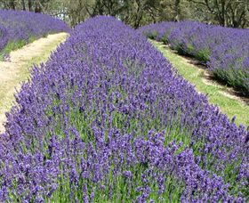 Yuulong Lavender Estate - Accommodation VIC