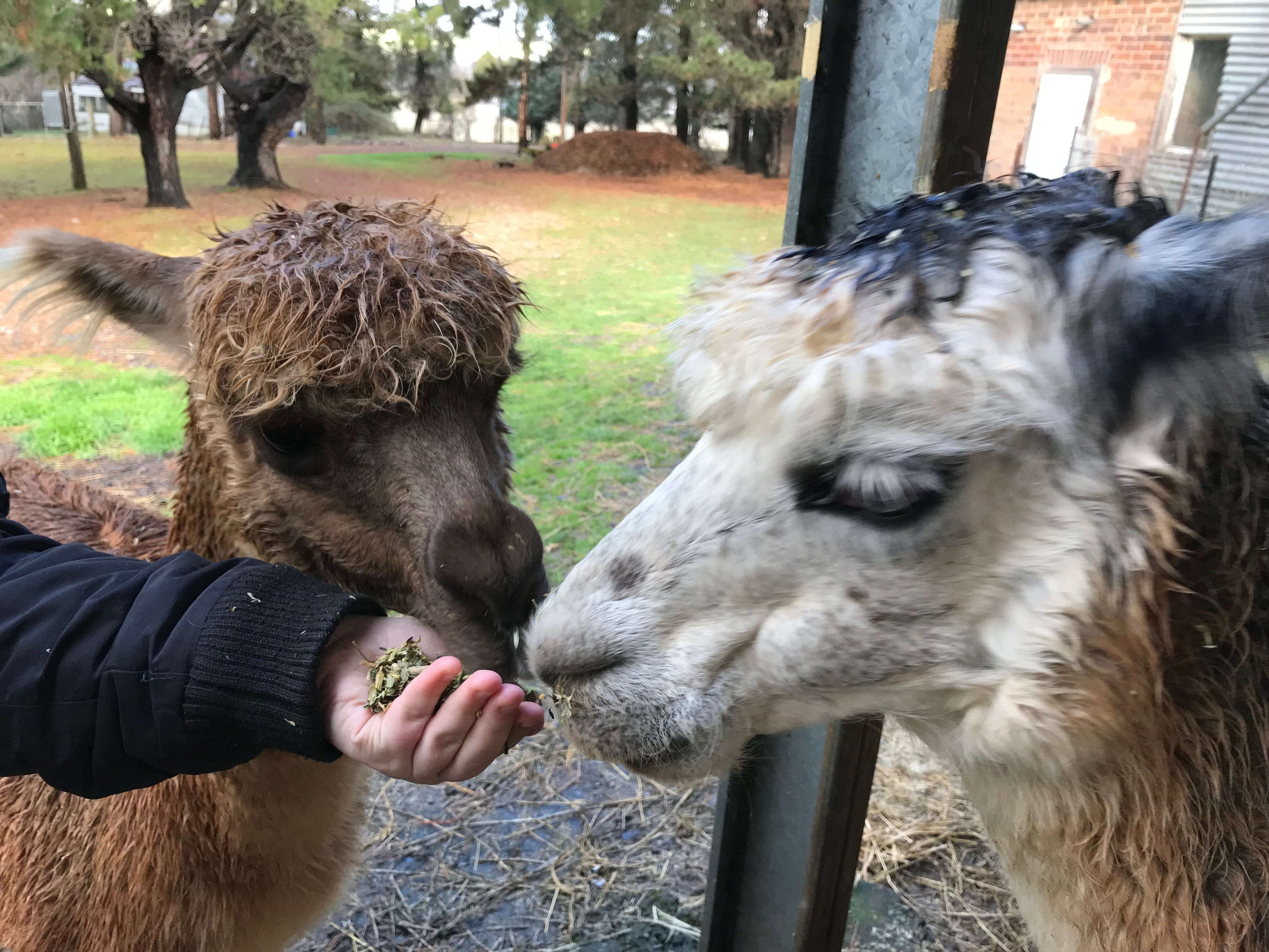 Alpaca Farm Experience at Crookwell - Accommodation VIC
