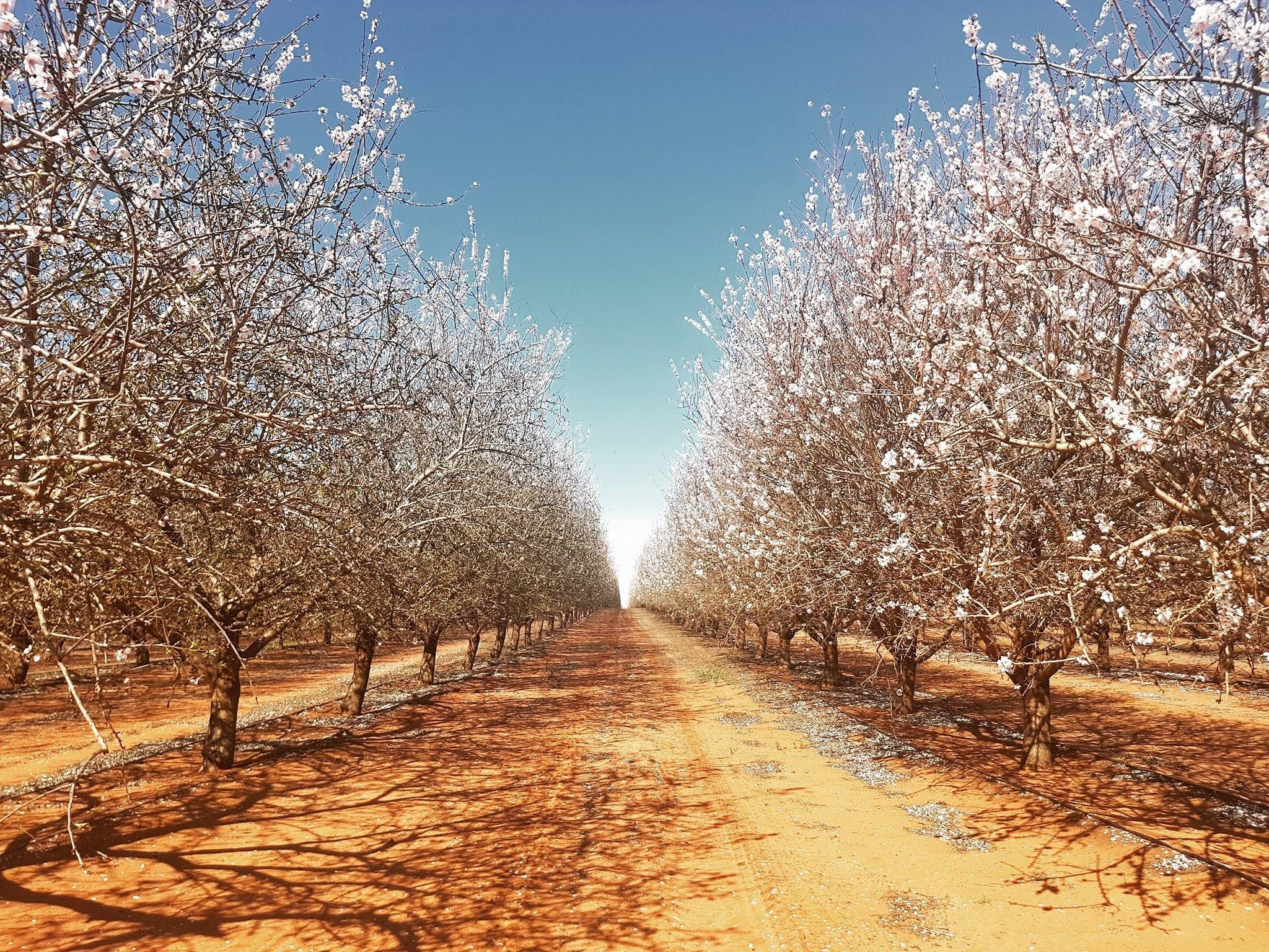 Mallee Almond Blossom Festival - Accommodation VIC